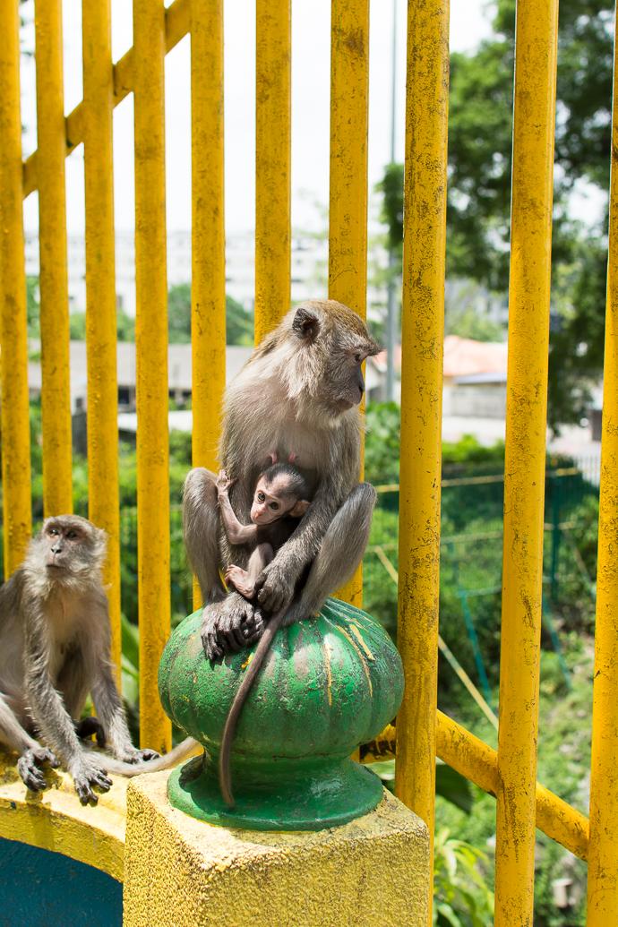 Des singes au temple de Batu, Kuala Lumpur