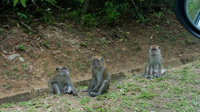 Des singes, en Malaisie à Langkawi