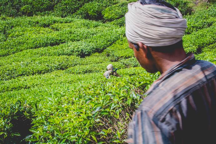 Province de Cameron Highlands, Malaisie, plantation de thé et récolte