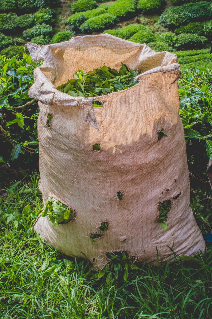 Thé frais récolté à la main, dans la Province de Cameron Highlands, Malaisie