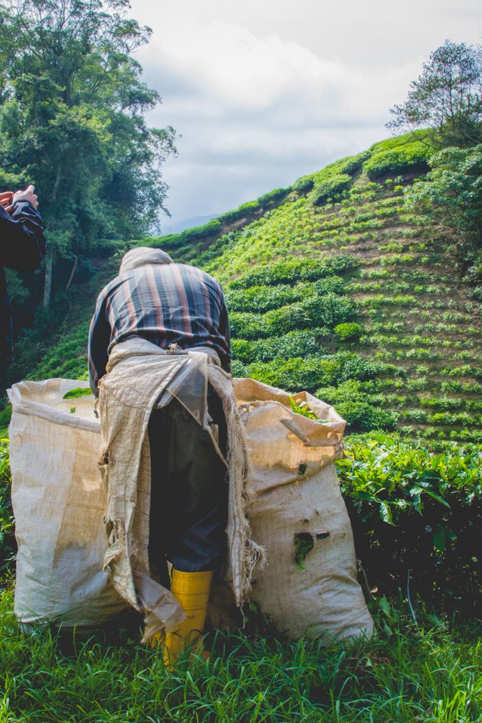 Récolte de thé dans la Province des Cameron Highlands, Malaisie