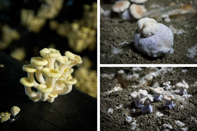 champignons-pleurote-pieds-bleus