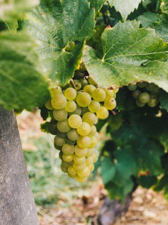 grappe de raisin de la région de Mâcon - vinification de nos terroirs français