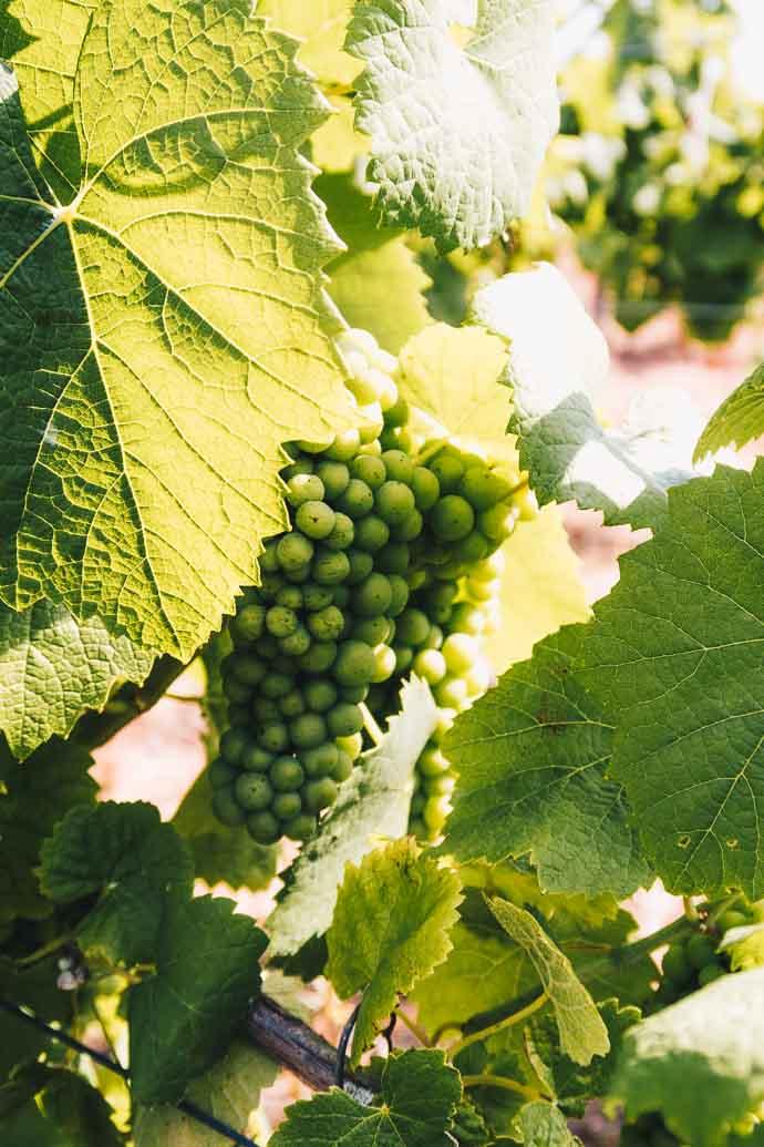 Ballade dans les vignes du Muscadet, à la découverte du Melon de Bourgogne
