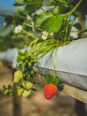 Culture de fraises hors sol à Cameron Highlands, Malaisie