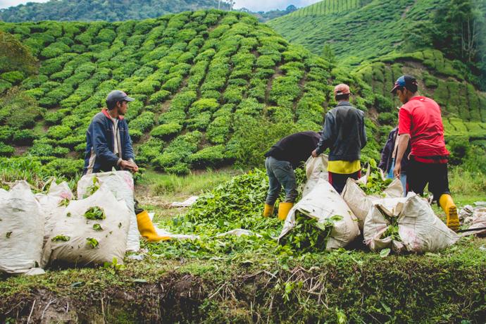 Travailleurs dans des champs de thé à la Boh Tea Estate, Cameron Highlands, Malaisie