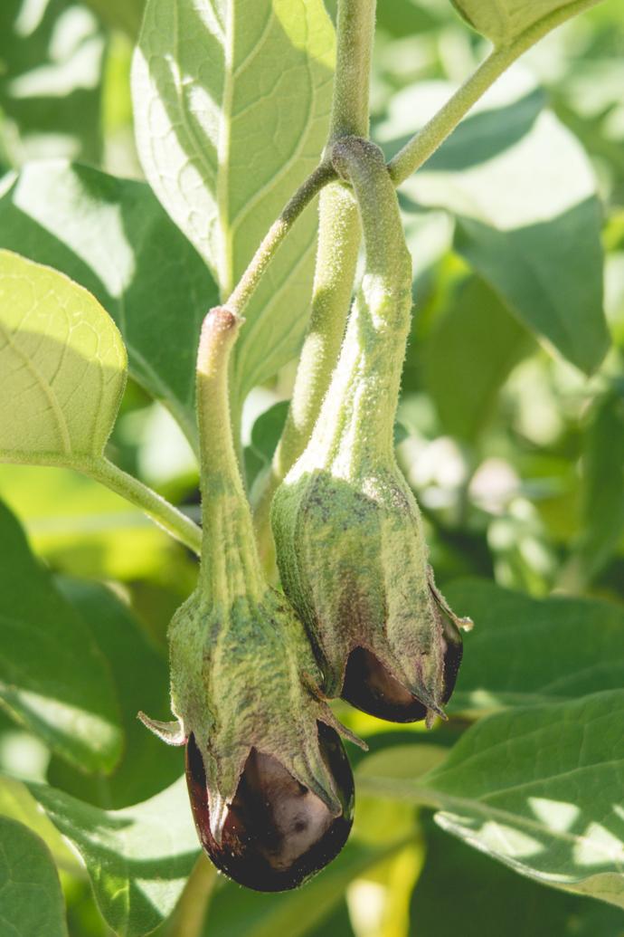 Aubergines dans un potager en biodynamie