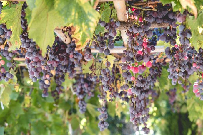 Vignes dans la Vallée des Baux-de-Provence