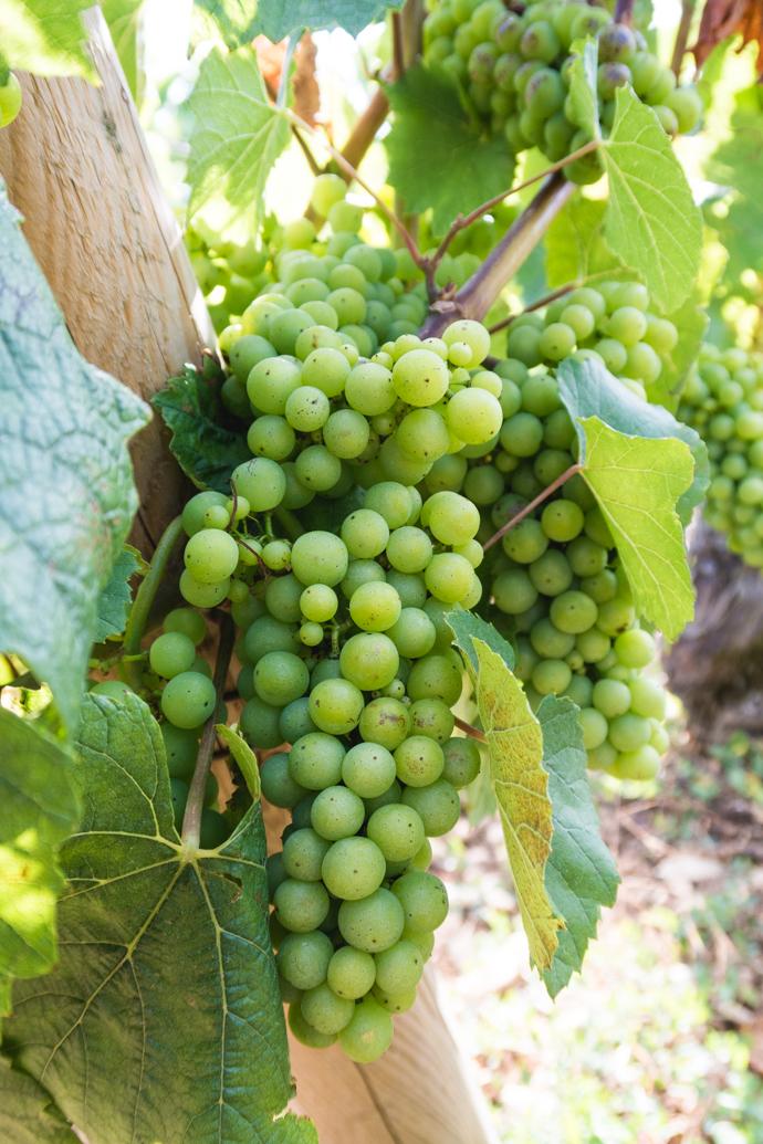 Vignes de raisins blancs