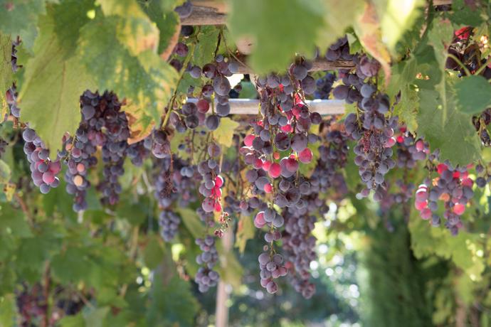 Vignes rouges suspendues