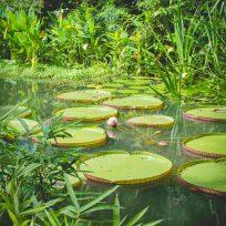 Nénuphars du Tropical Spice Garden, Penang, Malaisie