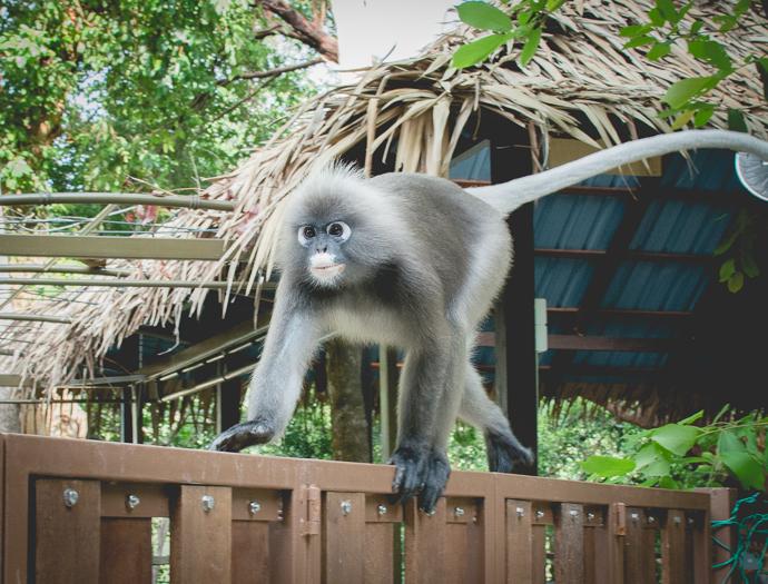 Singe rieur à la crinière blanche, Tropical Spice Garden, Penang, Malaisie