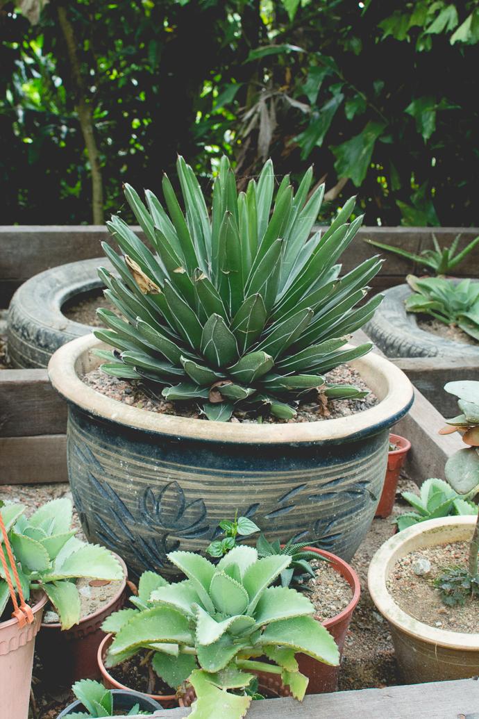 Succulentes en pot, Tropical Spice Garden, Penang, Malaisie