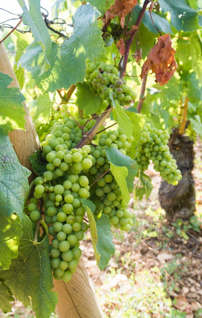 Vignes raisins blanc