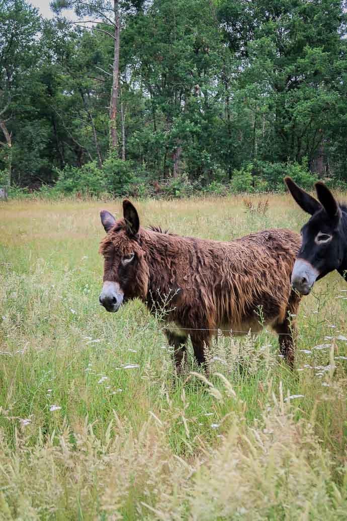 Deux ânes au coeur d'un champ