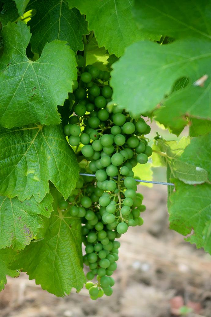 Grappe de raisins blanc du vignoble bergeracois