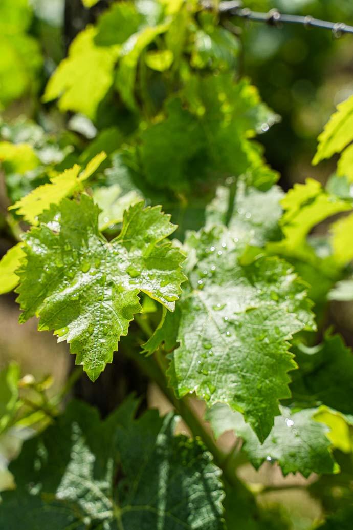 Feuille de vigne en Anjou